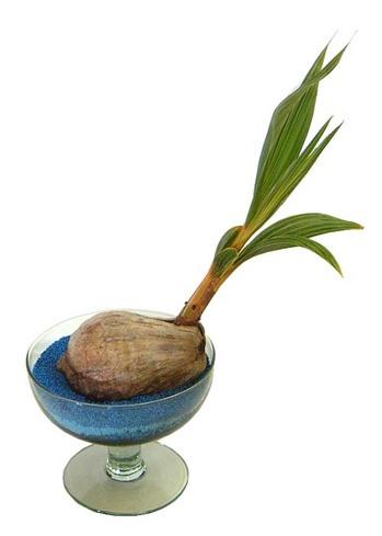 ゴールデンココナッツ