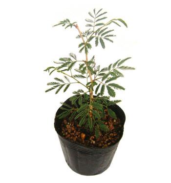 蛍の木(ホタルの木)