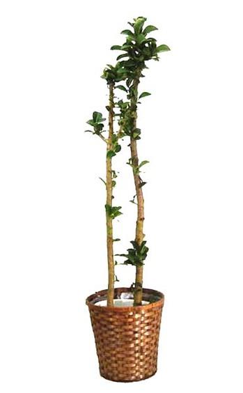 アポロ ゴムの木