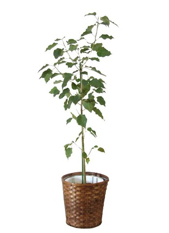 インドボタイジュ(菩提樹)