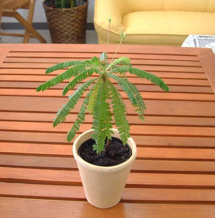 http://www.bloom-s.info/blog/images/biophytum.jpg