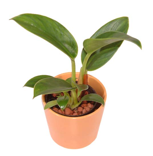 http://www.bloom-s.info/blog/images/firo-kongo.jpg